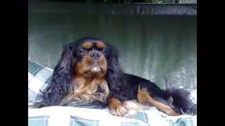Cavalier King Charles Spaniel Age 2yrs