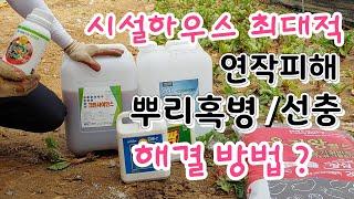 시설하우스  최대적 연작피해,뿌리혹병,염류집적 토양개량…