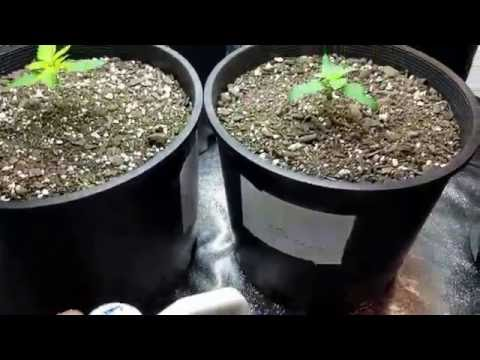 Ep #20 Day 14 From Seedling To Grow Marijuana Easy Tips For Indoor Cannabis Grow Room Update & Tips