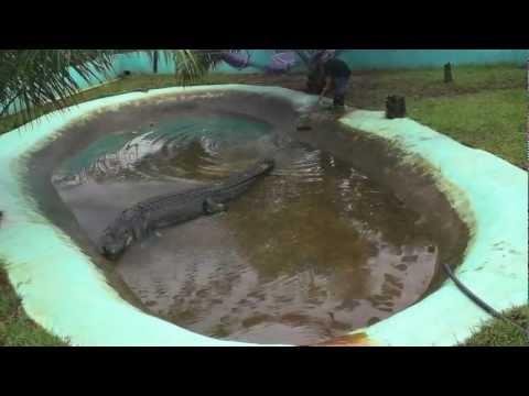 How Captivity Killed Lolong