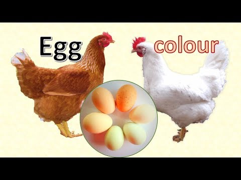 White eggs, brown eggs, speckled eggs, blue eggs - what makes the egg colour?