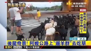 最新》後龍奇景! 阿嬤公路上「遛羊群」去吃草