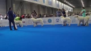 WDS female champion - суки класса чемпионов (пиренейская горная собака)
