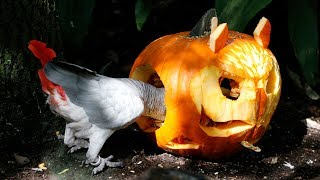 Halloween PUMPKIN SMASH Dallas Zoo-Style