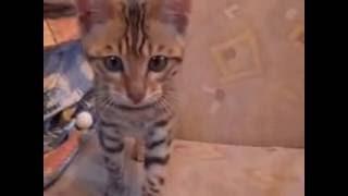 Бенгальский котёнок на золоте