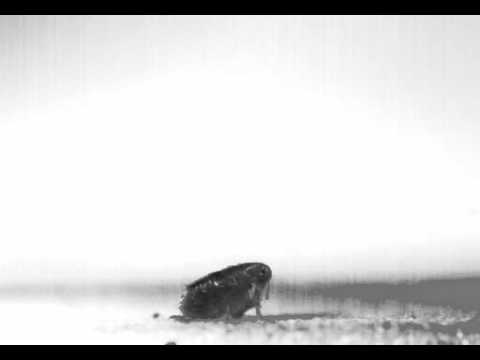 Biomechanics of jumping in the flea Movie 02