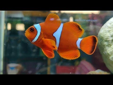 Clown Fish, Tang Fish, Damsel Fish At Pyramid Aquarium Fish Shop