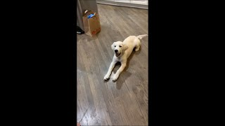 Sweet Dog Play Dead When Owner Fakes Shooting Finger
