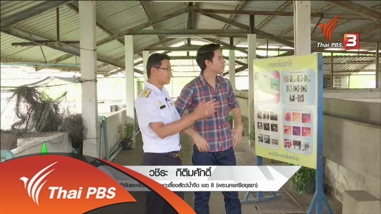 ชุมชนทั่วไทย : เพาะเลี้ยงปลาบึกในบ่อซีเมนต์ (4 ต.ค. 61)