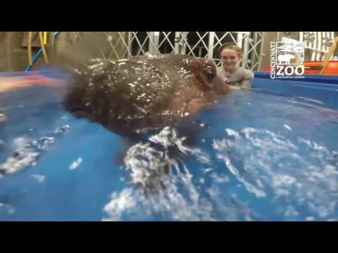 Premature Hippo Fiona Underwater Pool Time - Cincinnati Zoo