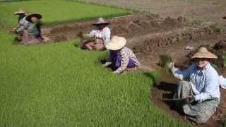 Planting rice, Myanmar
