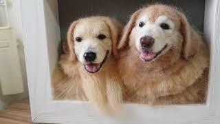 羊毛氈黃金獵犬-作品欣賞 thumbnail