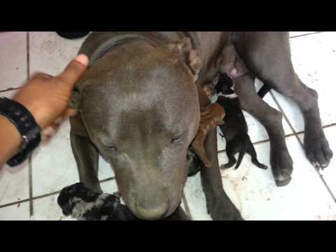 PitBull Puppies For Sale SouthSide Ontario