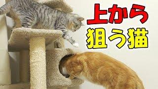 茶トラ猫の「ちゃい」がキャットタワーの穴に隠れようとすると、サバト...
