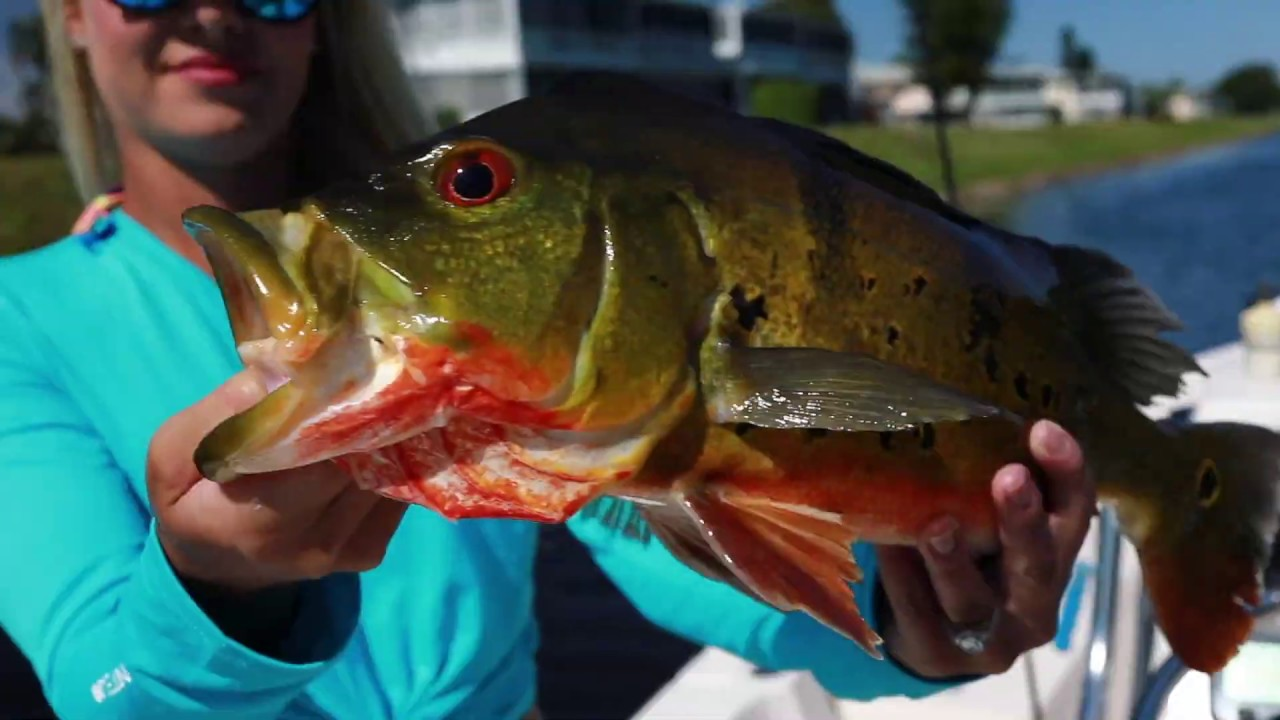 Peacock Bass with Dakota Lithium and South Florida Fishing Carters