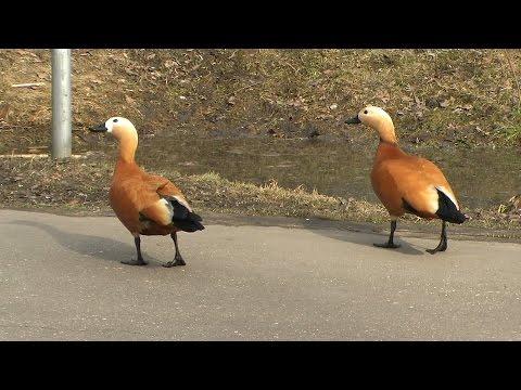 Утка огарь или красная утка (Tadorna ferruginea)