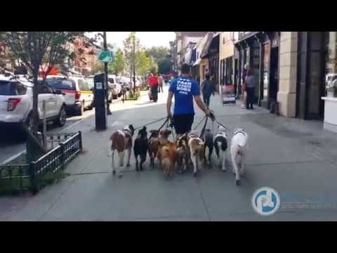 Walking a Pack of Dogs!