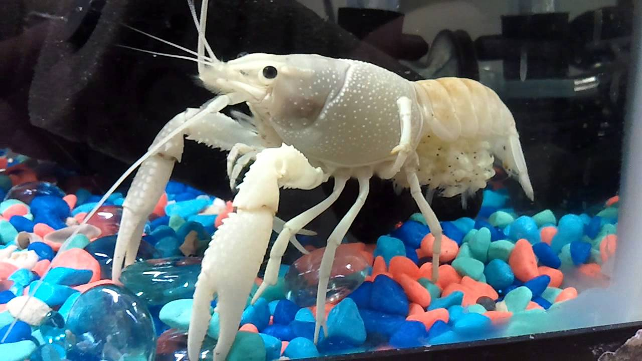 White crayfish and her babies - YouTube