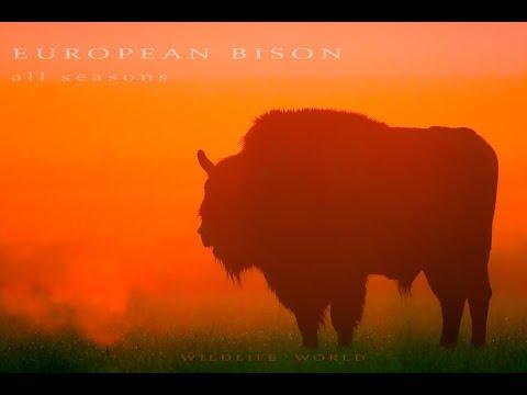 European Bison. Wild animals in all seasons.