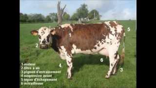 Écorce, vache normande du Salon agricole 2014