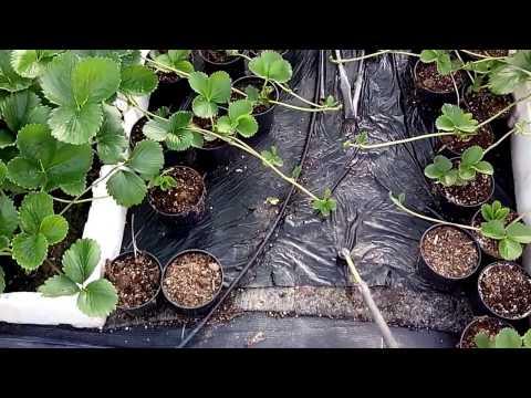 Батькив сад  Размножение земляники нейтрального дня в закрытом грунте