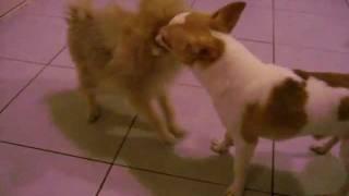 Chihuahua Pet Boarding (singapore Dog Hotel) Call 8186 5999.avi