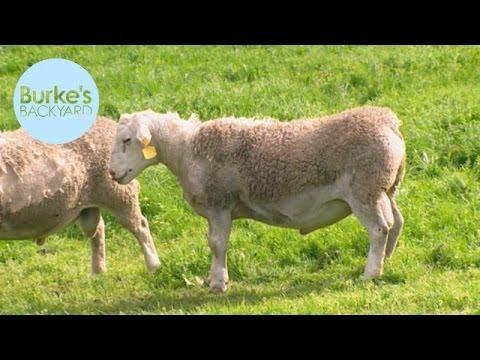 Burke's Backyard, Wiltipoll Sheep
