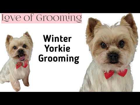 Winter Trim on a Yorkshire Terrier | Grooming a Yorkie