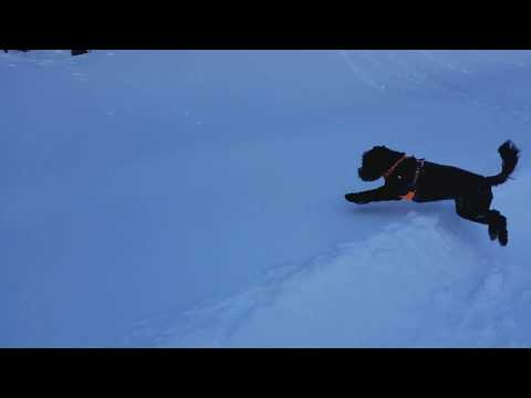 Teo the Portuguese Water Dog Puppy Meets Snow