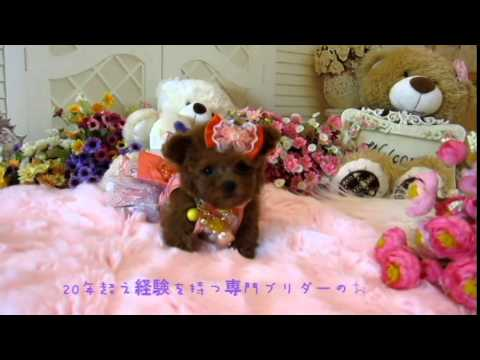 red pocket teacup poodle from youlong poodle breeding center
