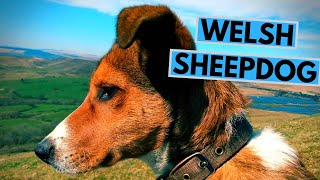 Welsh Sheepdog Dog Breed  Facts and Information