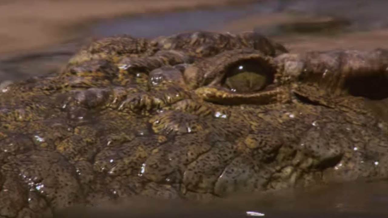 Crocodile Waits For Wildebeest In Rapids Bbc Earth Youtube