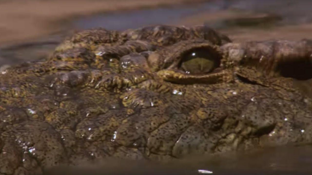 Crocodile Hunts Down Wildebeest In The Rapids Bbc Earth