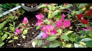 Easy Way To Care Bougainvillea Flower