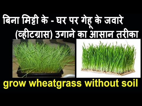 how-to-grow-wheatgrass-seeds-without-soil-at-home-indoors-|-wheatgrass-juice-recipes-weight-loss-|