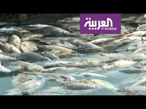 تفاعلكم : نفوق آلاف الأسماك في العراق في مشهد صادم