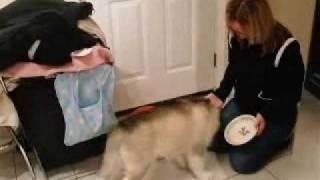 Suluk, Alaskan Malalmute, Wolfs His Chicken Treat