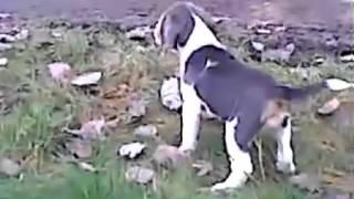 Blue/white  Color Beagle Pup