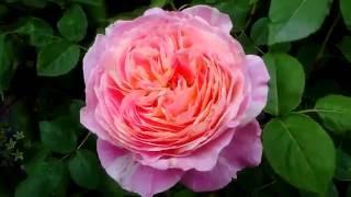 バラ。フレンチローズ(クロード モネ)