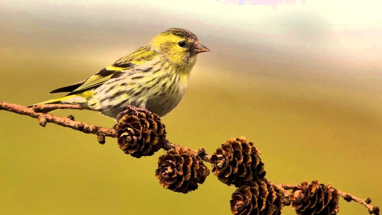 Звуки Природы.  Пение птиц - Чиж - Голоса птиц.