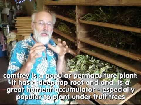 true comfrey seeds - symphytum officinale - plant under fruit trees