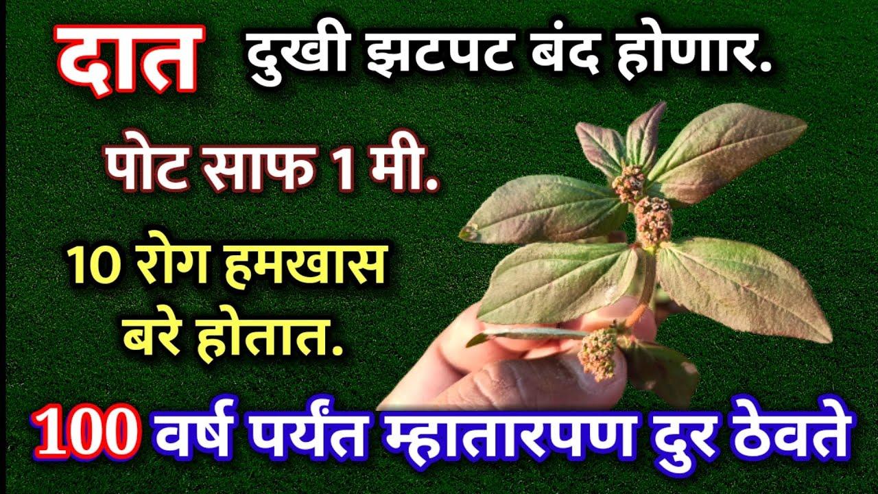 हि पाने 10 रोग बरे करते ,पोट साफ,रातभर जोश कायम,जंत उपाय, दुधी फायदे, pot saf dudhi vanspati ayurved