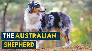 Australian Shepherd 101: Your Guide to The Energetic And Loyal Aussie!