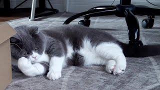 Funny cat British Shorthair Coco