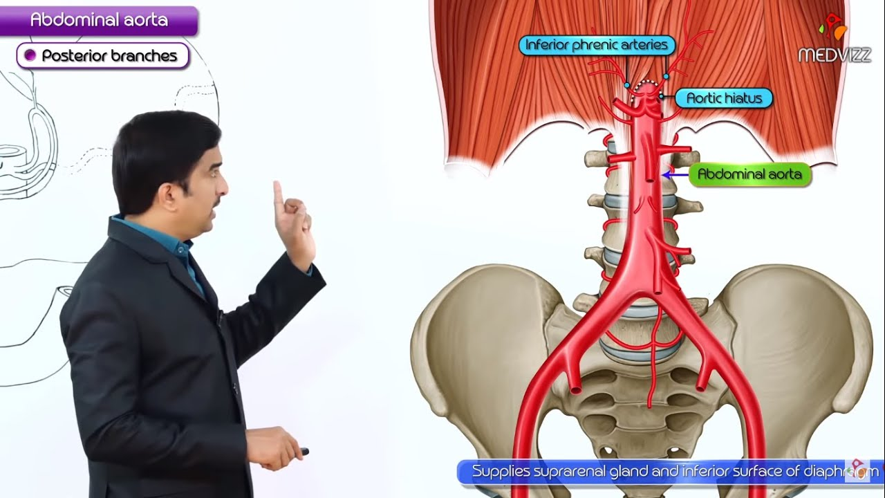Abdominal Aorta Origin Course Branches Anatomy Medical
