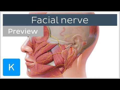 Innervation of the Facial Nerve (Cranial Nerve 7).