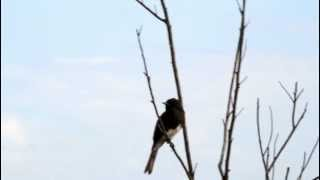 Black Phoebe calls - Sepulveda Basin Wildlife Reserve, Los Angeles, CA - September 9 2012