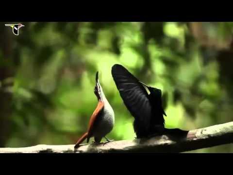 Những con chim rừng đẹp nhất thế gới