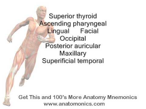 External Carotid Artery Branches Mnemonic - YouTube