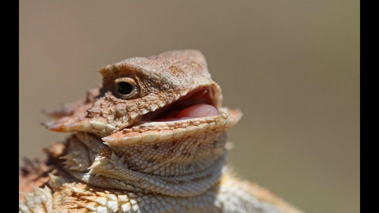 lagarto cornudo nacimiento bebe parte 1 - YouTube